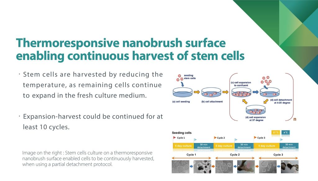 Thermoresponsive nanobrush surface enabling continuous harvest of stem cells