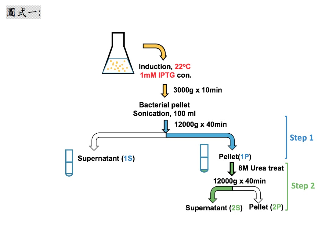 一種豬瘟Erns可溶性蛋白生產純化技術及其專一性鑑別型之應用性