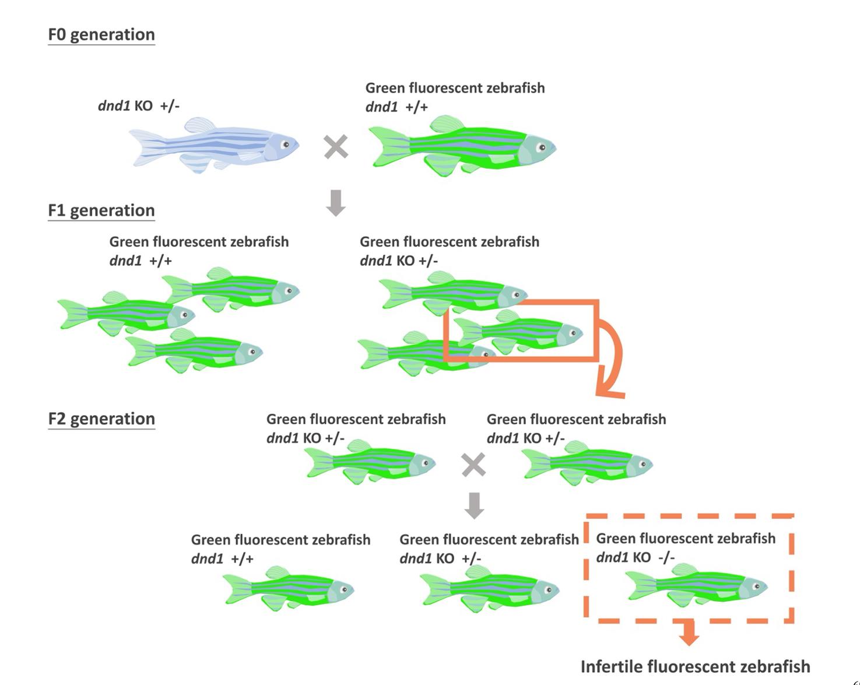 基因體編輯技術在觀賞魚精準育種之應用