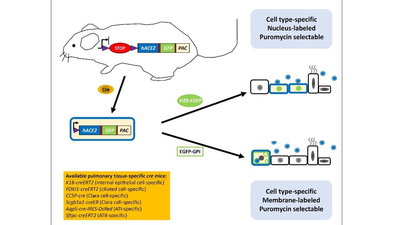 新冠肺炎相關研究小鼠小鼠模式之建構