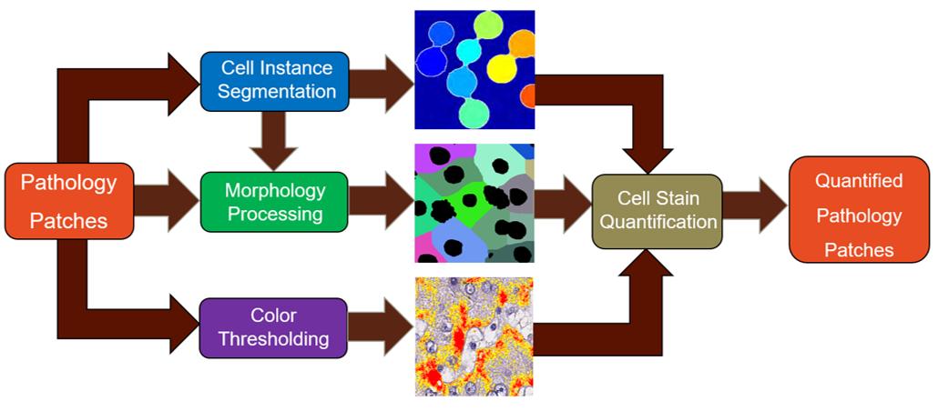 免疫組織化學染色肝臟切片量化分析