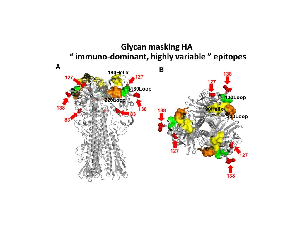 Glycan-maskingglycan-unmasking hemagglutinin antigens for universal influenza vaccine development