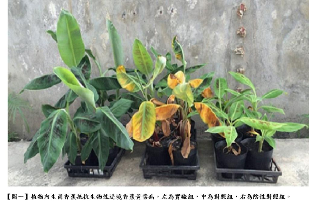 Non-GMO green revolution under climate change: The plant beneficial endophytic agent for total solution of abioticbiotic stresses