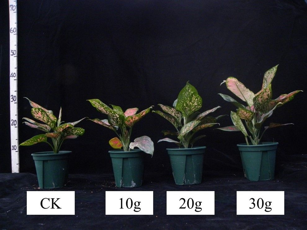 Application of water-retaining materials to promote the growth of red-leaf aglaonema