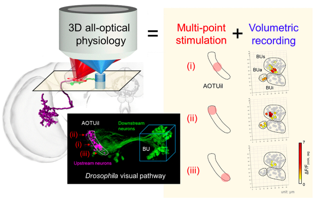 Visualization of brain connectomics: all-optical volumetric imaging/stimulation and spiking neural circuit models