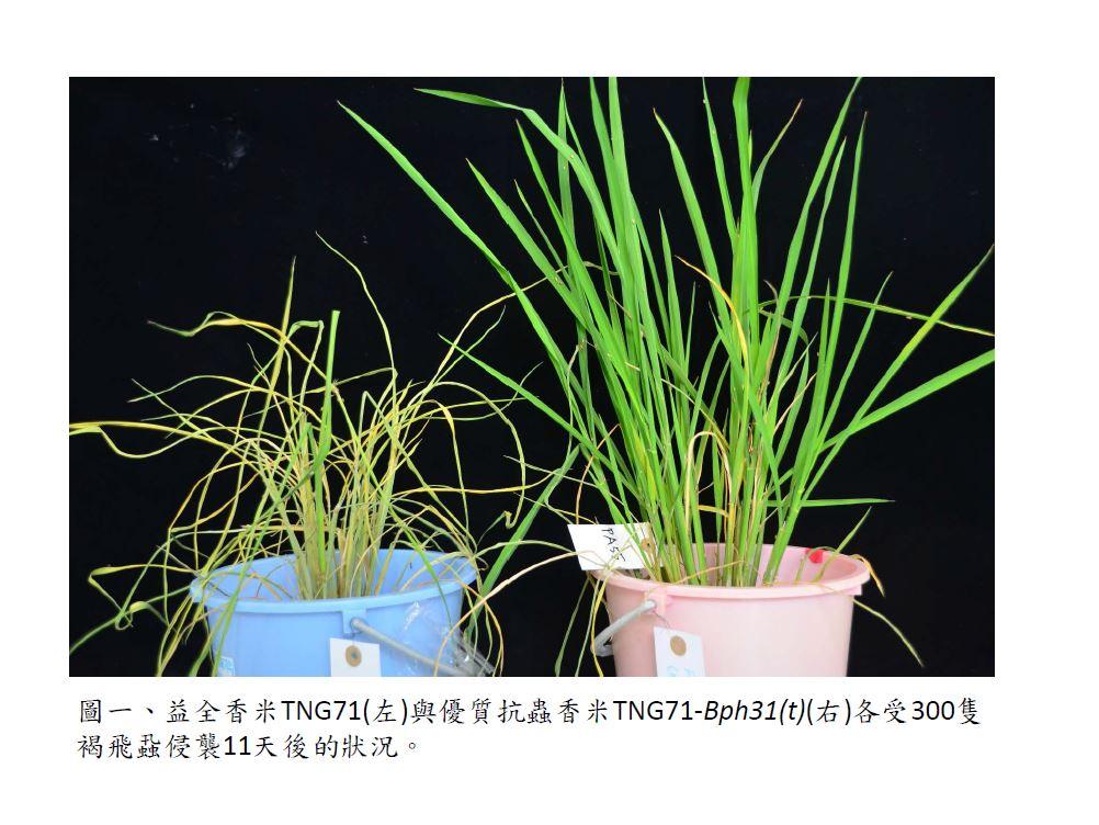 抗褐飛蝨新基因水稻智慧友善管理系統與新穎抗蟲選育技術