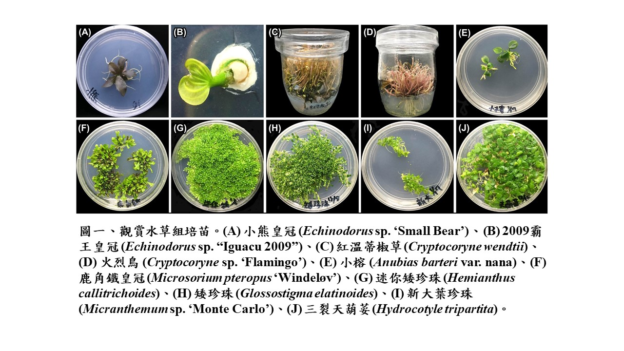 The plant tissue culture technique for aquarium plants seedling production