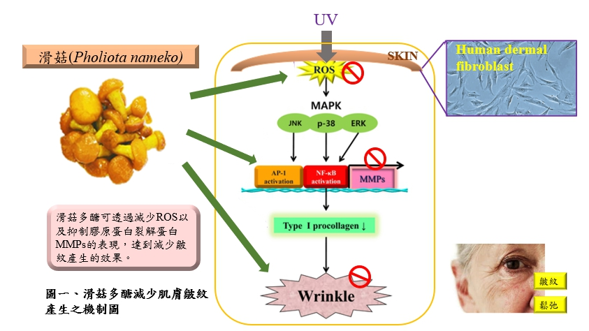Development of raw materials for skin care products- structure, efficacy, and safety of the Pholiota nameko polysaccharide.