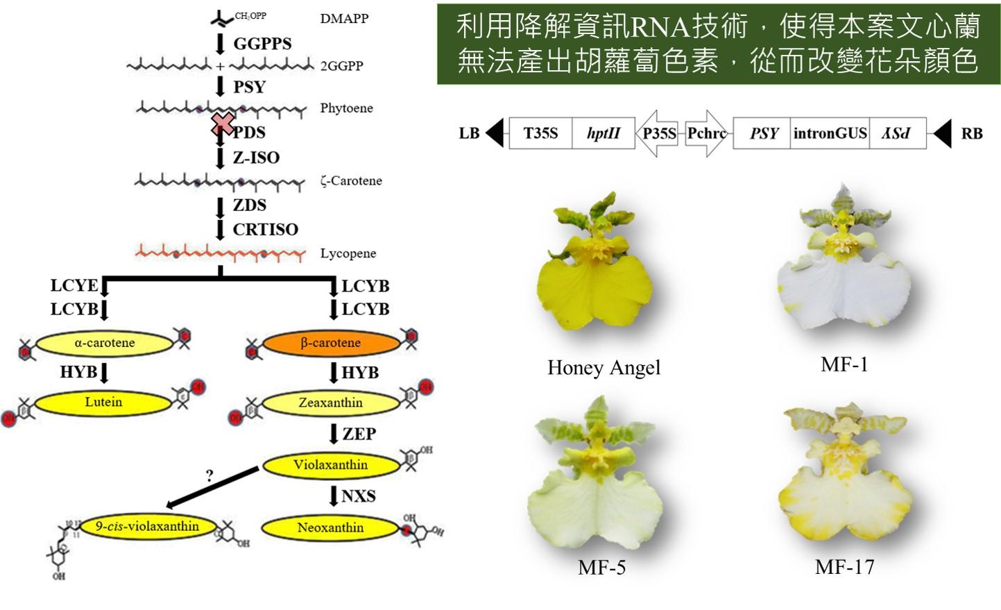 花卉分子育種新創產業 - 台大蜜雪切花文心蘭